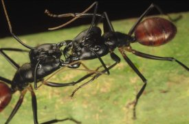 Mark Moffett - Giant Forest Ant pair fighting, 1x magnification, Borneo