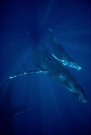 Flip Nicklin - Humpback Whale mother and calf, Hawaii