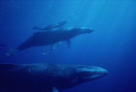 Flip Nicklin - Humpback Whale mother and calf with male escort in foreground, Hawaii