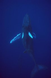 Flip Nicklin - Humpback Whale calf riding the pressure wave created by its mother, Hawaii