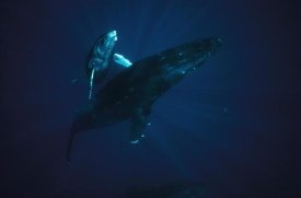 Flip Nicklin - Humpback Whale mother and young, Hawaii