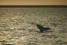 Flip Nicklin - Gray Whale tail at sunset, Baja California, Mexico