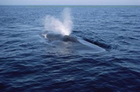 Flip Nicklin - Blue Whale spouting, Sea of Cortez, Mexico