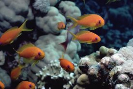 Flip Nicklin - Anthias near Sinai, Red Sea
