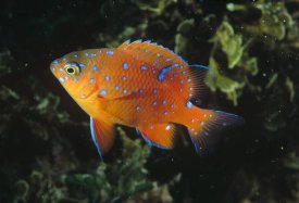 Flip Nicklin - Garibaldi juvenile, California