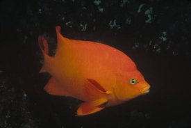 Flip Nicklin - Garibaldi adult portrait, Channel Islands National Park, California