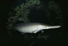Flip Nicklin - Alligator Gar