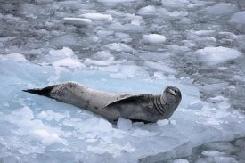 Flip Nicklin - Leopard Seal reclining on ice floe, Antarctica