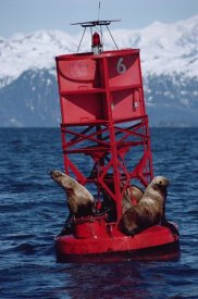Flip Nicklin - Oil stained Steller's Sea Lions, Exxon Valdez Oil Spill, Prince William Sound, Alaska
