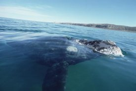 Flip Nicklin - Southern Right Whale at water surface, Peninsula Valdez, Argentina