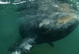 Flip Nicklin - Southern Right Whale close up, underwater near surface, Argentina