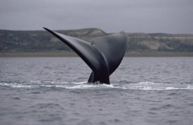 Flip Nicklin - Southern Right Whale tail, Peninsula Valdez, Argentina