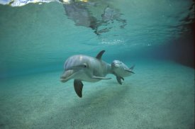 Flip Nicklin - Bottlenose Dolphin underwater mother and young, Hawaii