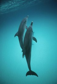 Flip Nicklin - Atlantic Spotted Dolphin underwater pair, Bahamas