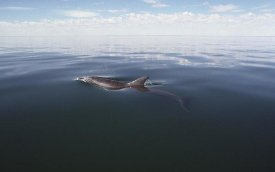 Flip Nicklin - Bottlenose Dolphin surfacing to breath, Australia