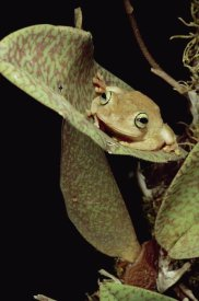 Mark Moffett - Tree Frog in canopy orchid, Trinidad