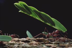 Mark Moffett - Leafcutter Ant group group carrying leaves, Barro Colorado Island, Panama