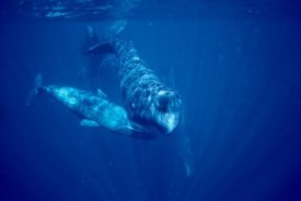Flip Nicklin - Sperm Whale social group underwater, Dominica