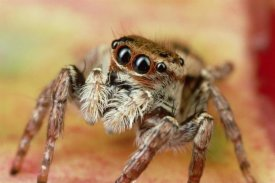 Mark Moffett - Jumping Spider portrait, Reunion