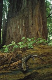 Larry Minden - Pacific Giant Salamander in redwood forest, Santa Cruz, California