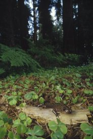 Larry Minden - Pacific Giant Salamander on Coast Redwood forest floor, California