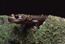 Larry Minden - Pacific Giant Salamander on mossy rock, central California