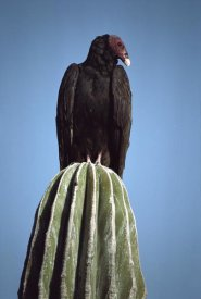 Larry Minden - Turkey Vulture on Cardon cactus, Baja California, Mexico
