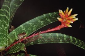 Mark Moffett - Frog on Guzmania Bromeliad western lowlands, Colombia