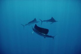 Flip Nicklin - Pacific Sailfish trio swimming off of Manualita Island, Costa Rica