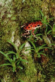 Mark Moffett - Strawberry Poison Dart Frog mother carries tadpole, Panama