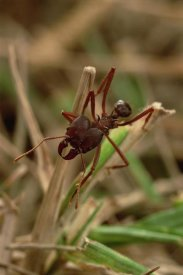 Mark Moffett - Leafcutter Ant, Paraguay
