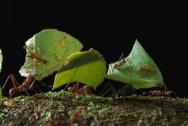 Mark Moffett - Leafcutter Ant ants taking leaves to nest, French Guiana