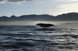 Flip Nicklin - Sperm Whale tail, New Zealand