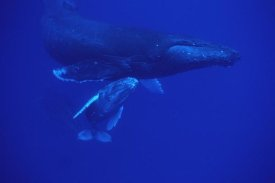 Flip Nicklin - Humpback Whale friendly mother and calf followed by male escort, Maui, Hawaii