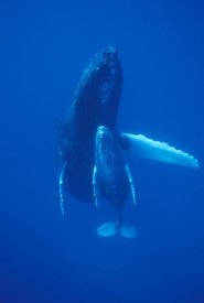 Flip Nicklin - Humpback Whale cow and calf resting, Maui, Hawaii