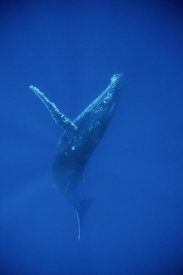 Flip Nicklin - Humpback Whale swimming, underwater, Hawaii
