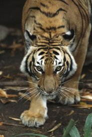San Diego Zoo - Bengal Tiger approaching, native to India