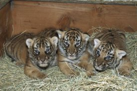 San Diego Zoo - Indochinese Tiger cubs in sleeping box, native to Indochina