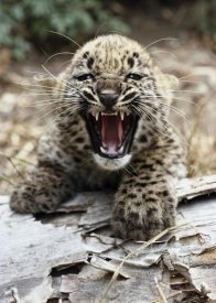 San Diego Zoo - Persian Leopard cub snarling, native to Iran and Afghanistan
