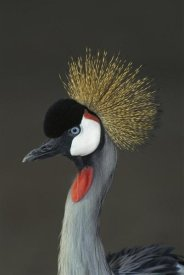 San Diego Zoo - Grey Crowned Crane portrait, native to Africa