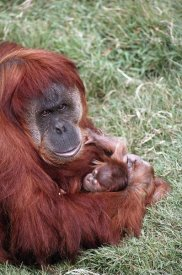 San Diego Zoo - Sumatran Orangutan mother holding baby, native to Sumatra