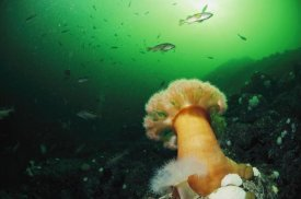 Flip Nicklin - Tube-dwelling Anemone, Clayoquot Sound, Vancouver Island, Canada