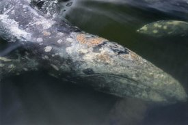 Flip Nicklin - Gray Whale filter feeding, Clayoquot Sound, Vancouver Island, Canada