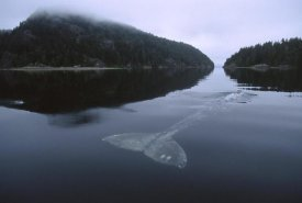 Flip Nicklin - Gray Whale skims water surface water, Clayoquot Sound, Canada