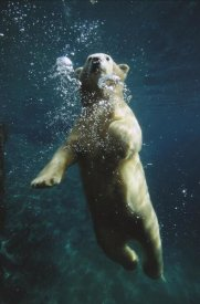 San Diego Zoo - Polar Bear swimming underwater, native to North America