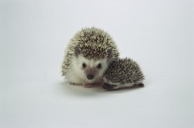 San Diego Zoo - African Hedgehog mother and baby, native to Africa