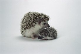 San Diego Zoo - African Hedgehog baby and mother, native to Africa