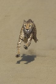 San Diego Zoo - Cheetah running, native to Africa