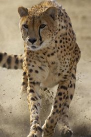 San Diego Zoo - Cheetah running, threatened, native to Africa