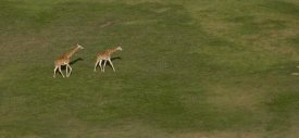 San Diego Zoo - Rothschild Giraffe pair crossing grassland, native to Africa